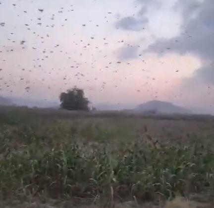 أسراب من الجراد تجتاح سماء محافظة محايل عسير