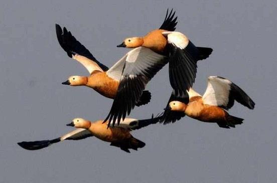 Image result for الطيور المهاجرة