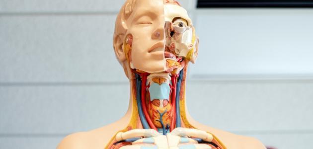 علماء يكتشفون عضوا جديدًا في الحلق أثناء دراسات على سرطان البروستاتا
