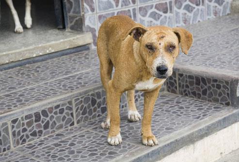 7- تصاب الكلاب والقطط بالجرب أيضا، إلا أن حشراتها مختلفة، ولا يمكن أن تتكاثر في جلد الإنسان، وتموت عادة دون التسبب بأعراض خطير