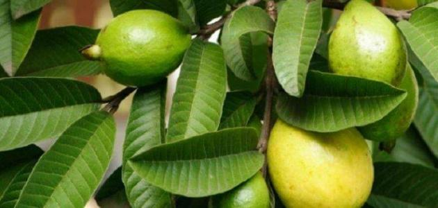 اوراق الجوافة