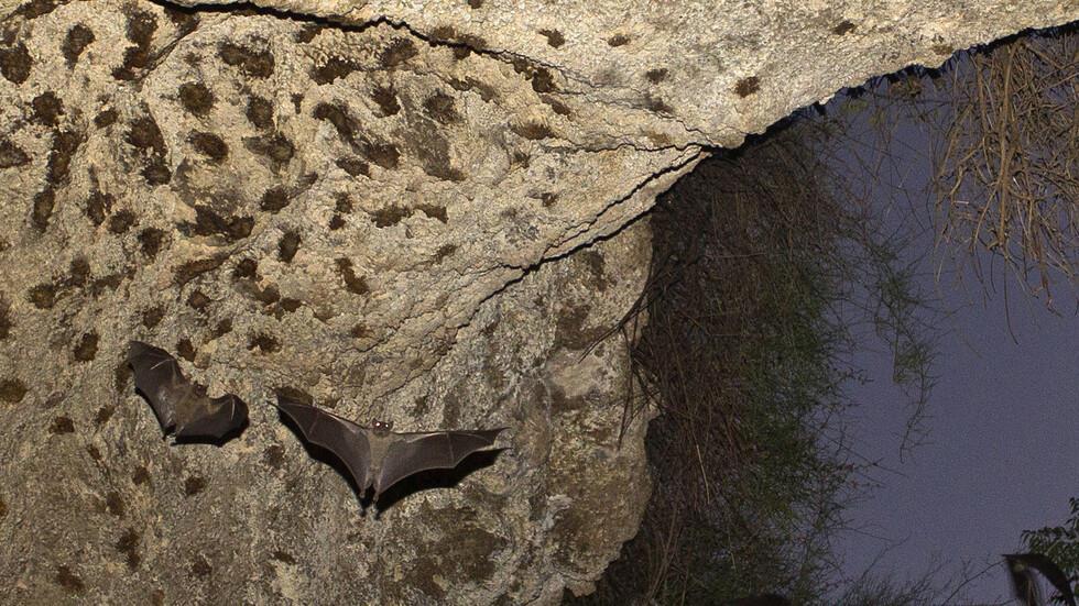 الهند .. اكتشاف تفشي لواحد من أخطر الفيروسات في العالم بين أنواع جديدة من الخفافيش