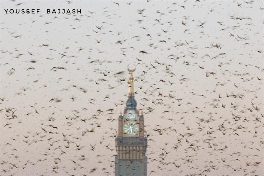 الجراد فوق ساعة مكة.. تصوير يوسف بجاش