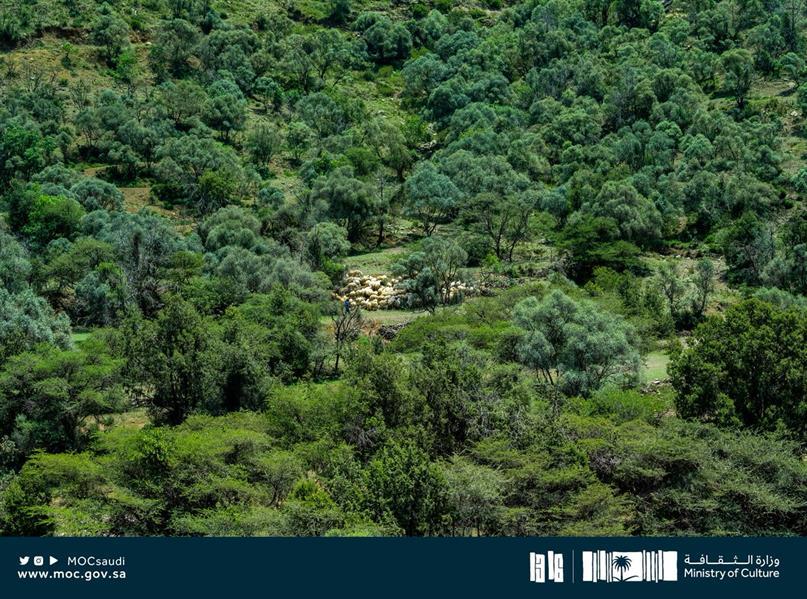 فواكه ومجاري مياه وأمطار طوال العام.. تعرف على أبرز سمات غابة عمضان في الباحة