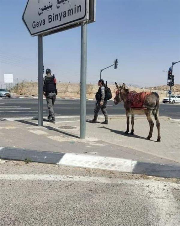 """في حادثة غريبة .. إسرائيل تعتقل """"حماراً"""" لاستخدامه في المقاومة"""
