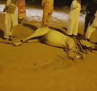نفوق حصان إثر حادث تصادم بنجران