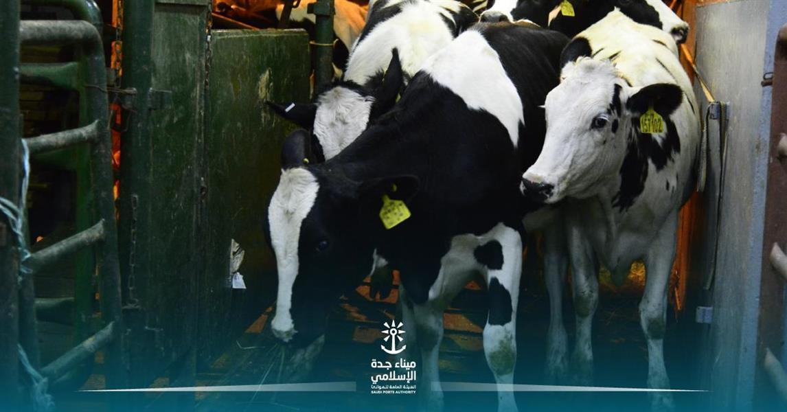 ميناء جدة يُصدِّر شحنة أبقار إلى السودان