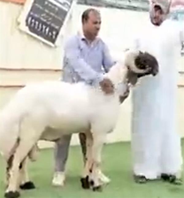 بيع خروف بما يعادل 200 ألف دولار بالكويت