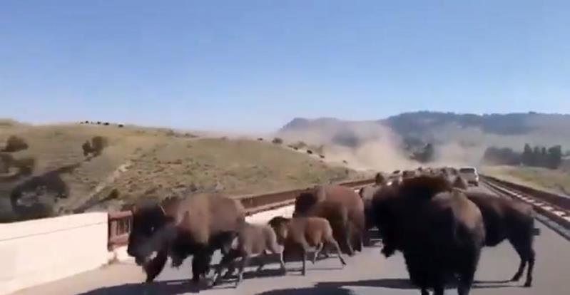 حيوانات برية تقطع طريقاً عاماً بطريقة مرعبة