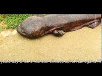 مخلوق غريب خرج من أحد الأنهار في اليابان