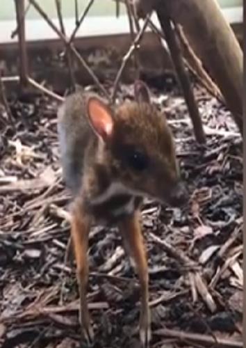بريطانيا .. ولادة حيوان غريب يجمع بين صفات الغزال والفأر