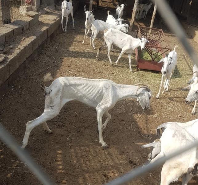 مرض قـاتل يحوّل أجساد الماشية إلى هياكل عظمية بجازان