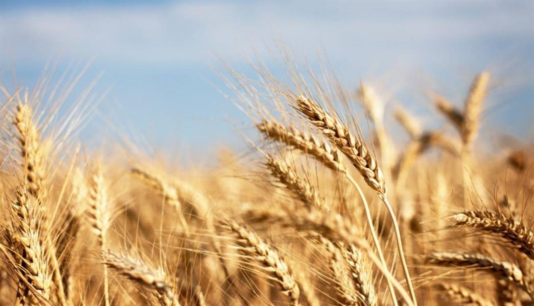 """""""الحبوب"""" تنهي إجراءات شراء كمية 355 ألف طن قمح من الاستثمارات السعودية بالخارج"""