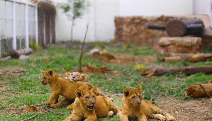 إصابة 8 أسود في حديقة حيوان هندية بفيروس كورونا