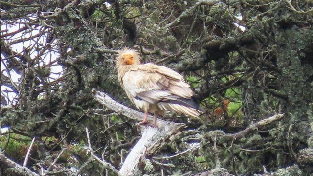 النسر المصري: ما قصة الطائر النادر الذي ظهر في بريطانيا بعد 150 عامًا؟