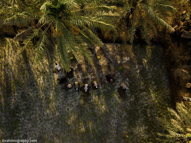 وزير الثقافة ينشر فيديو يظهر جانباً من زراعة الأرز الحساوي