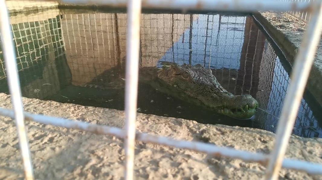 يمتلك 100 ثعبان وتمساحين.. قصة شاب سعودي يهوى تربية الحيوانات غير الأليفة