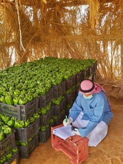 """شاهد.. """"البيئة"""" تواصل جولاتها التفتيشية على المزارع بالرياض.. وتؤكد خلو الخضراوات من بقايا المبيدات"""