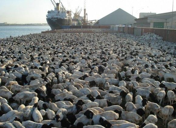 صورة المواشي لحضة وصولها ميناء جدة