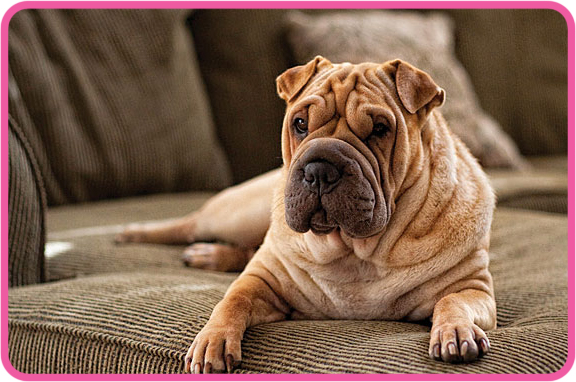 Wrinkly dog. woof.