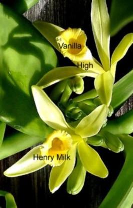 Vanilla High