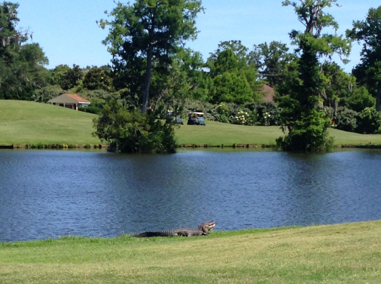 'Gators roaming the fairways