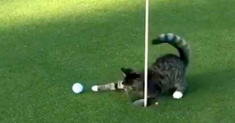 WATCH: The golf cat that won't even let Tiger Woods hole a putt...
