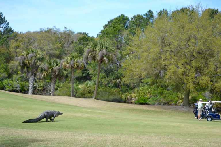 alligator dinosaur spotted at kiawah island golf course