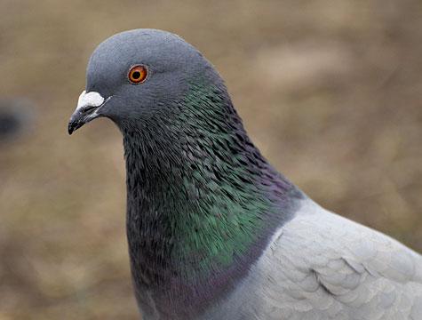Rider survives 140mph pigeon crash