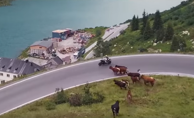 Motorcyclist chased by herd of cows