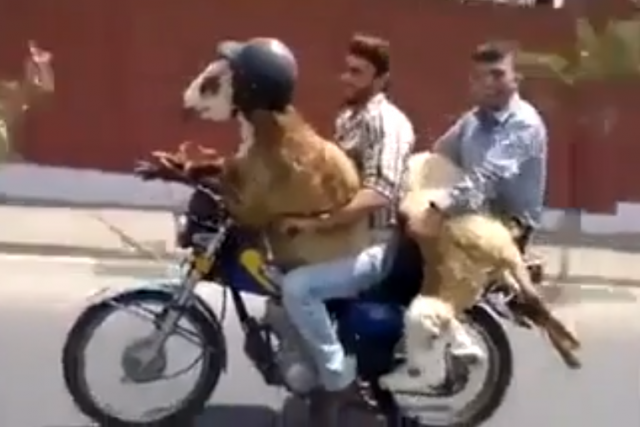 Men who ride with goats