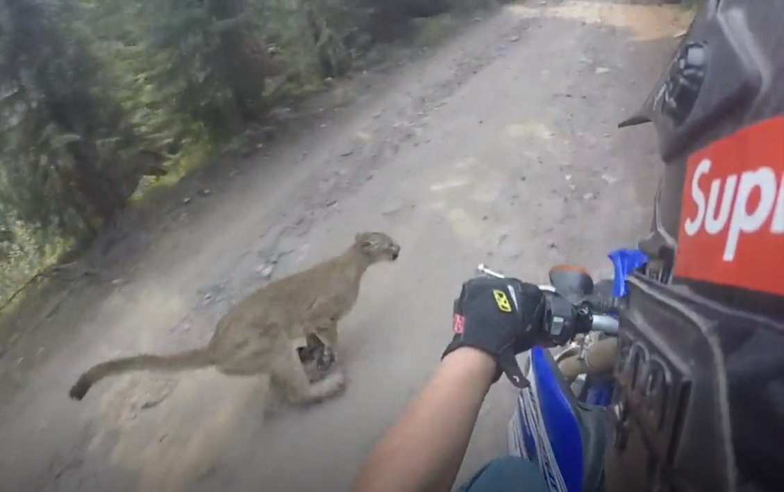 Dirt biker meets mountain lion