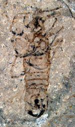 Puce male géante du Jurassique moyen (Mongolie intérieure, Chine).
