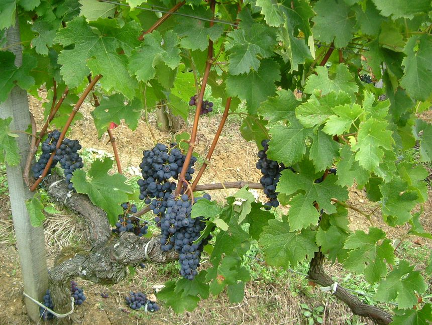 vigne vignoble rouge - Radio France