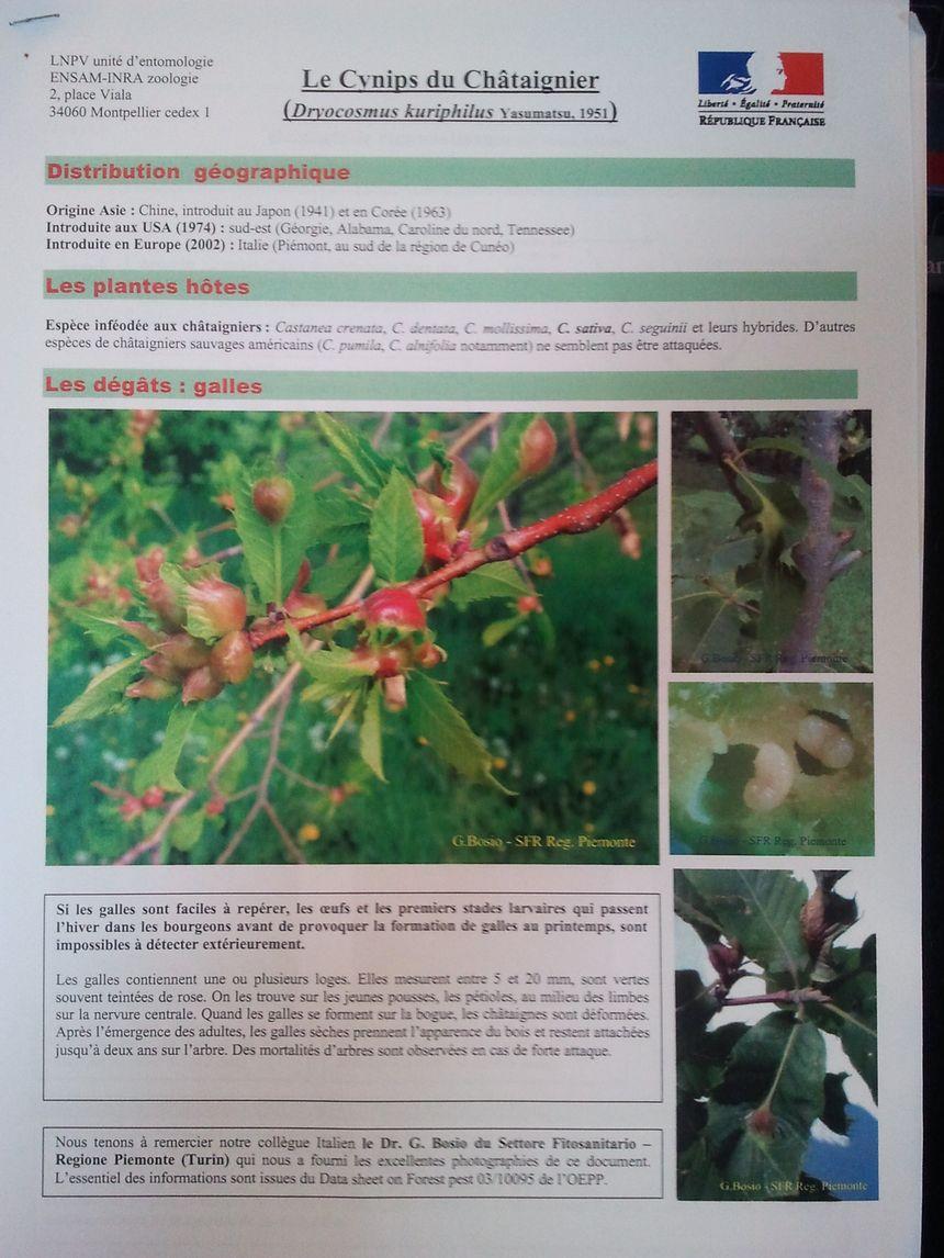cynips 1 - LNPV entomologie