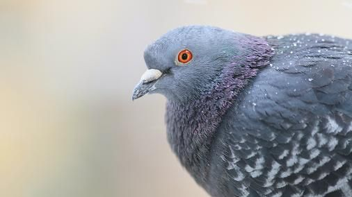 Sur les traces d'un serial Killer de pigeons
