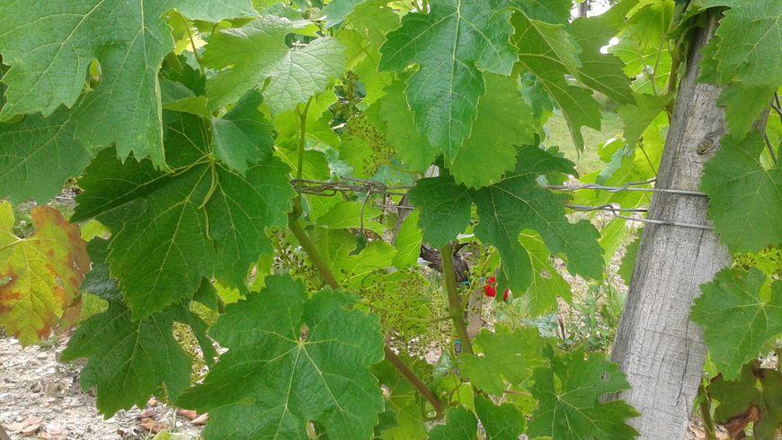 Les viticulteurs du Bordelais au chevet de la vigne : le mildiou et l'oïdium menacent la forte humidité