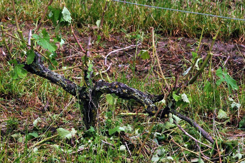 Le vignoble de Vouvray touché par la grêle - Patrice Deschamps - La Nouvelle République - Maxppp