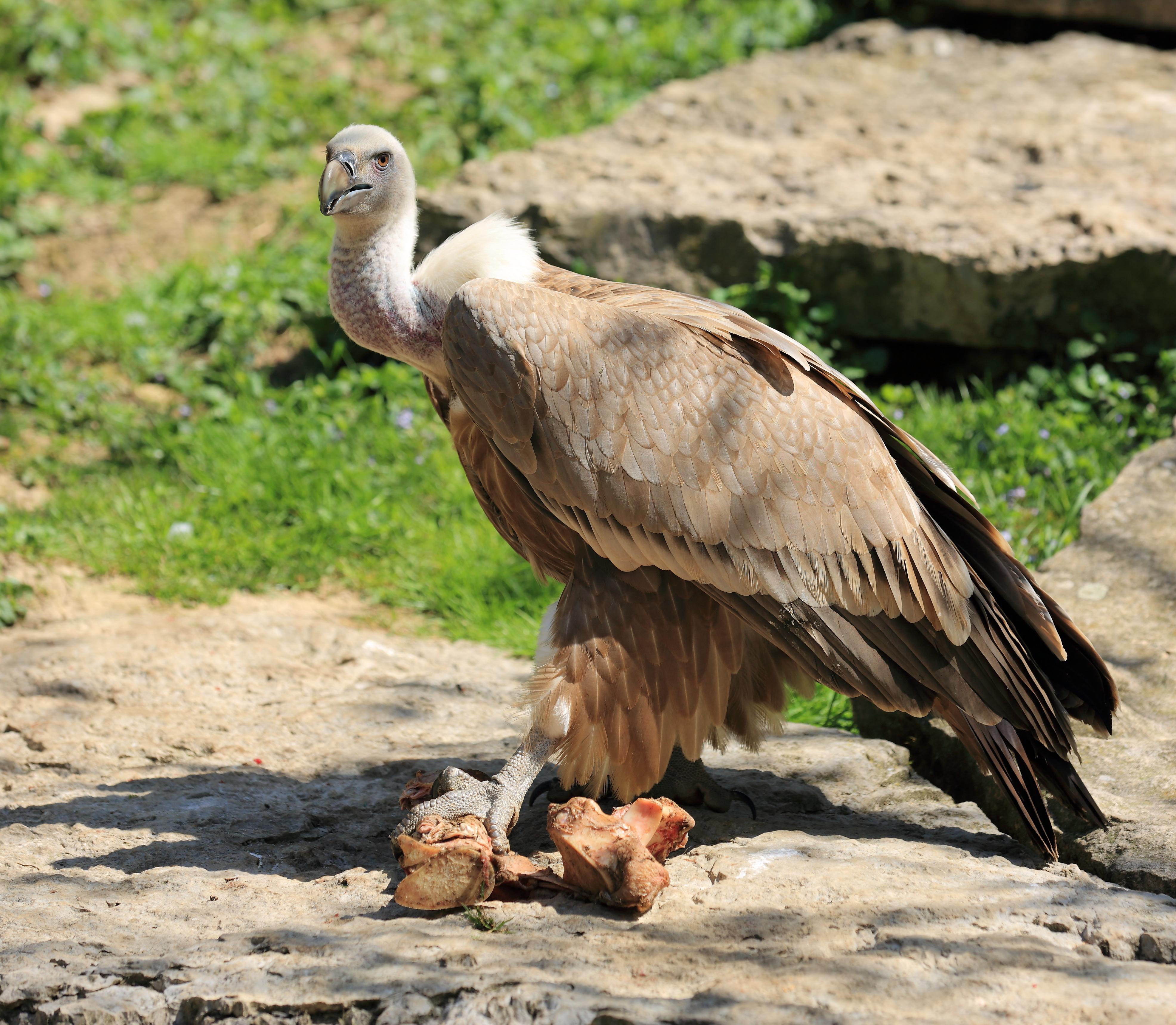 vautour-fauve-%C2%A9-joel-behr-fotolia-c