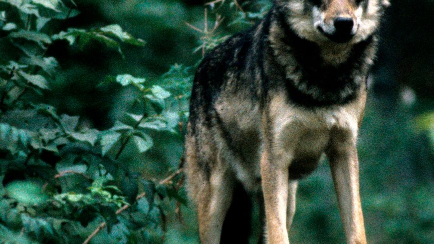 Loup d'Europe