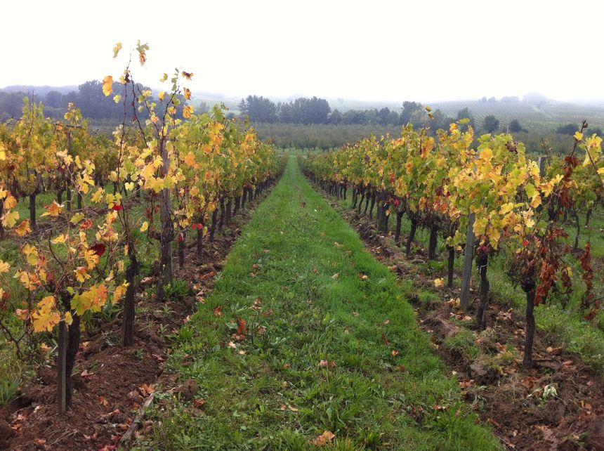 Dans les vignes du château La Salagre à Pomport - Radio France