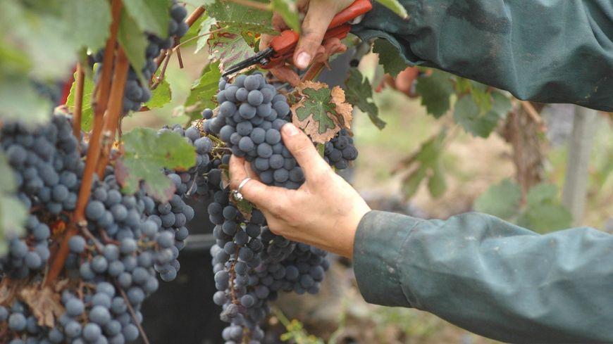 Le vignoble bergeracois / Grappe de raisins (archives)