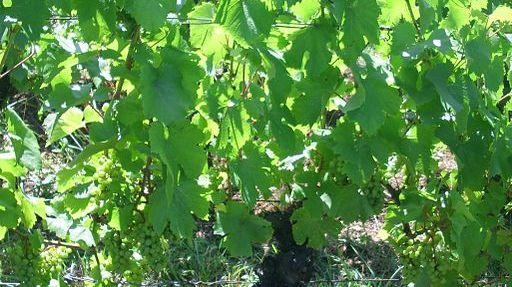 Des vignes à Chateau Chalon