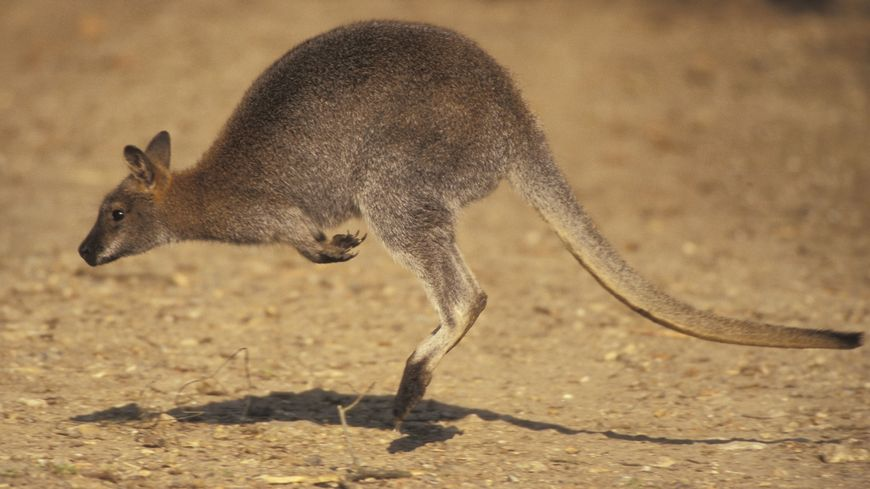 Un wallaby de Bennet (photo d'illustration)