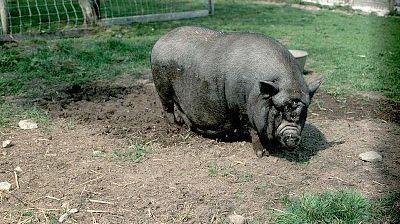 Un cochon vietnamien (photo d'illustration)