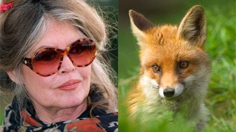 Ch'ti Fox Days : Brigitte Bardot défend la cause des renards du Nord.