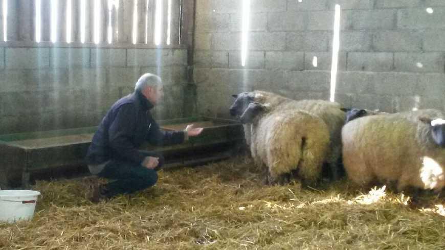 Didier Juigné espère que ses agnelles brilleront au Salon de l'Agriculture