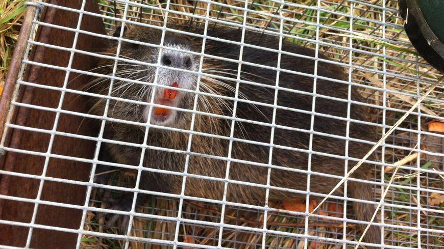 La chasse aux ragondins a commencé en Poitou