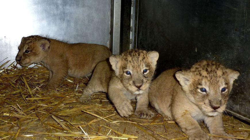 lionceaux citadelle lions asie
