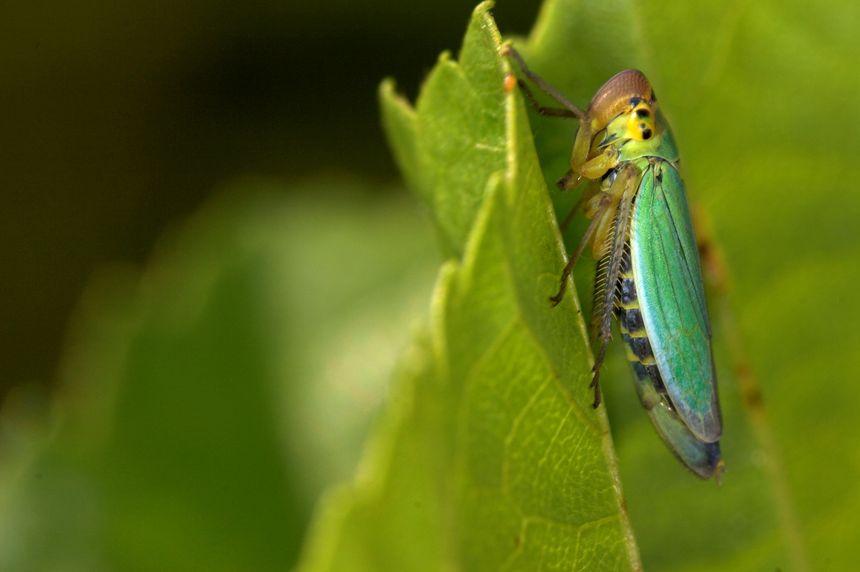 La cicadelle, l'insecte qui transmet la flavescence dorée - MaxPPP